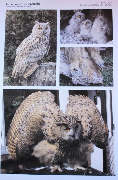 Photographs of the Eurasian eagle-owl