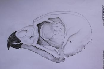 Eagle-owl skull - pencils