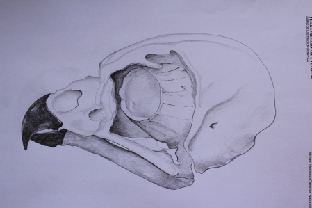 Eagle-owl skull - pencils