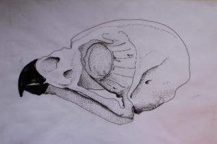 Owl skull - ink