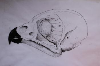 Eagle-owl skull - ink